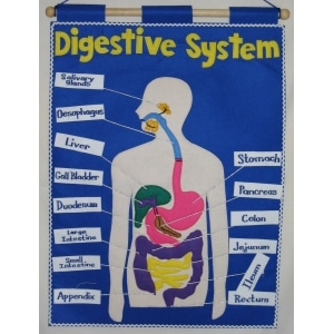 Educational Digestive System Charts